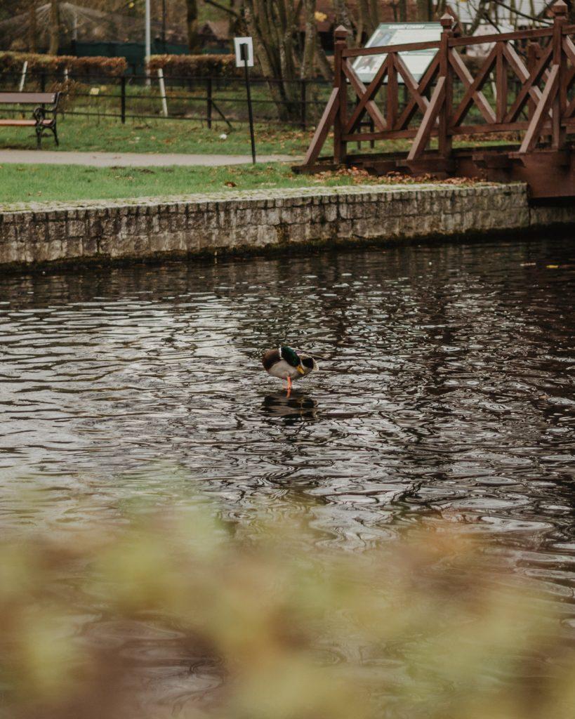 Ptaki w parku w Wejherowie