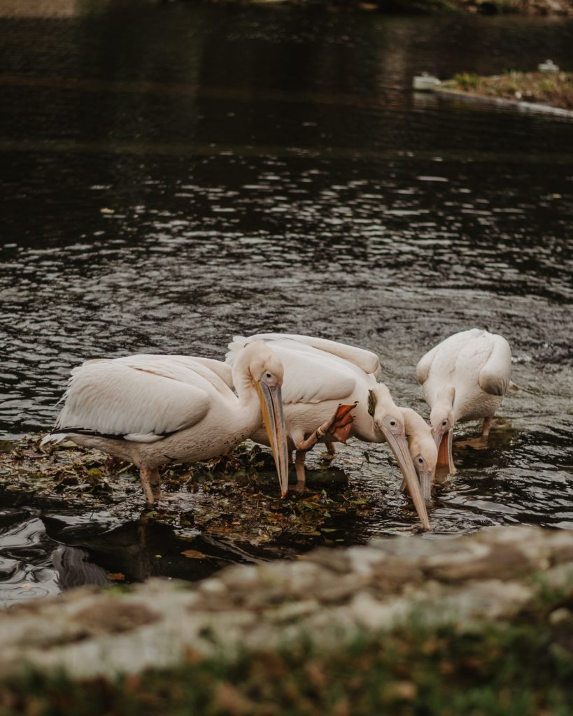 Flamingi w Polsce